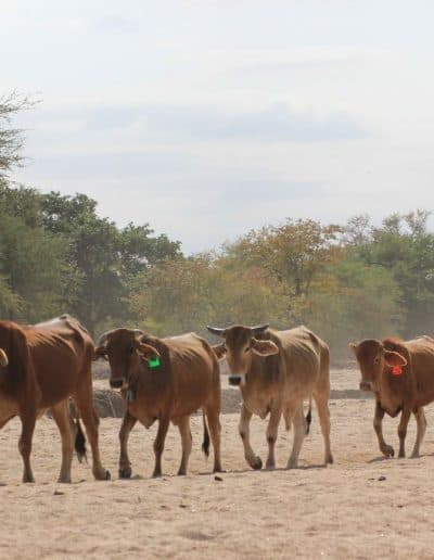 22. Cattle in search of water