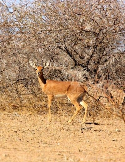24. Steenbuck antelope